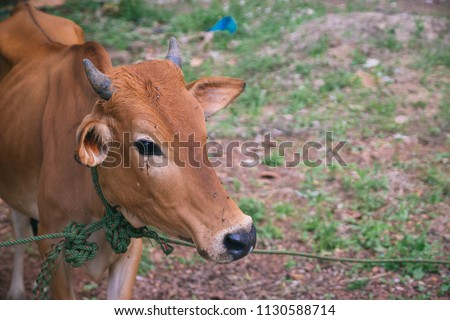 a cow for preparation to sacrifice for slaughter tradition in Eid Adha celebration in islam #1130588714
