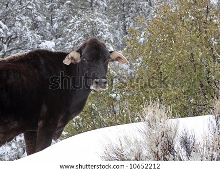 A cow forages for crass in the upper part of Nine Mile Canyon after a heavy winter storm.