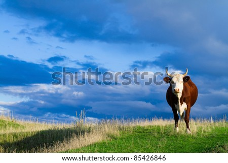 A cow grazing in a meadow in autumn against blue sky.