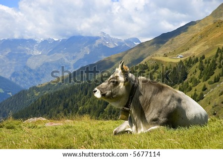 A cow has relax on high alpine grass carpet