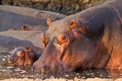A cow hippo stays close to her small calf and is very protective of it against the dominant bulls and even large crocodiles.