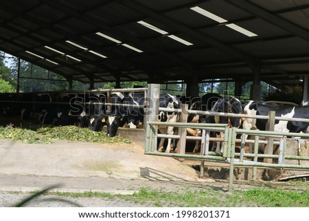 a cow in a clean iron barn. very healthy and fat cows are eating fresh green grass so that the milk produced is also healthy and of good quality Foto stock ©