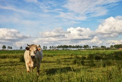 A cow in a Flemish landscape near the city of Diksmuide. In Flanders Fields. Belgium.