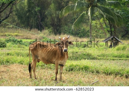 a cow in a harvested rice field