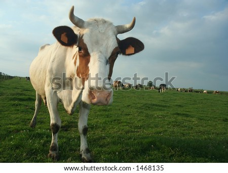 A cow in a pasture looking curiously at the photographer. Some more cows in the background