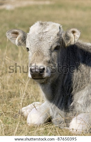 a cow in the grass/Lago Lace no, little cow on grass/