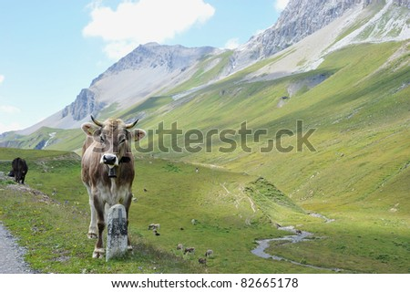 A Cow in the mountains / pass Albula Switzerland