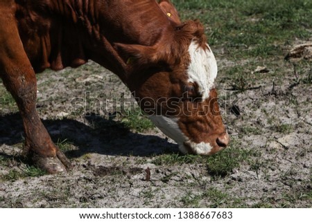 A cow is grazing on dry farmland caused by the lack of rain during summer. Cracked dirt is visible in the meadow. Can be used as concept for global warming, climate change, heat wave or poor growth. #1388667683