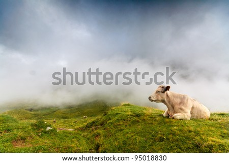 A cow is resting in spanish Pyrenees, with the fog coming at the background - stock photo