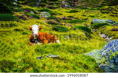 A cow is resting on the grass. Cow on pasture grass. Cow rest. Cow lying on grass