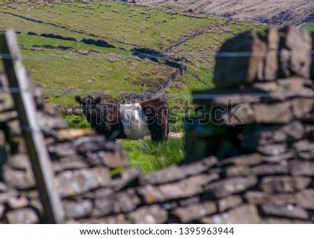 A cow looks at the camera from a Yorkshire field through a broken old stone wall, which frames the picture.