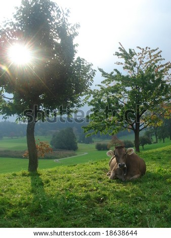 A cow lying down in a Swiss field under the bright sun