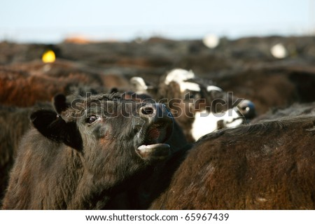 A cow moos in a large herd of beef cattle.