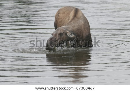 A cow Moose (Alces alces) feeds on aquatic grasses in a kettle-hole pond, Denali National Park, Alaska.