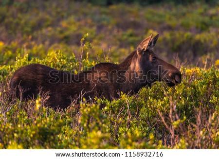 A Cow Moose Eating Breakfast in a Wetland Meadow in Colorado