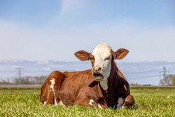 A cow mouth open, red and white in a pasture lying lazy mooing cow, wailing, showing gums and tongue