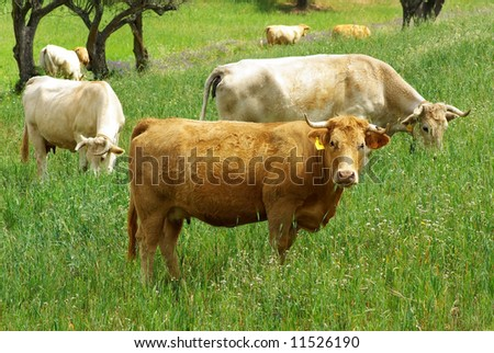 A cow of yellow coat looks at while it eats in the green field.