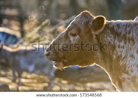 A cow portrait while breathing