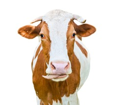 A cow puts out its tongue, isolated on white background