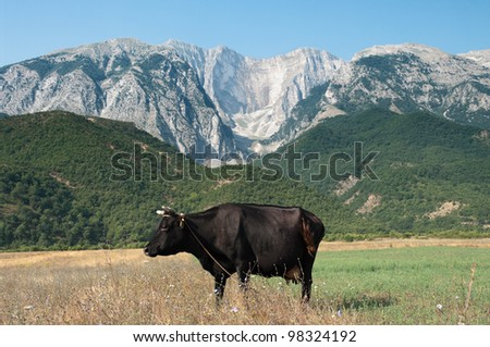 a cow standing in front of mountains in Albania