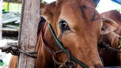 A cow that is crying, before it is slaughtered.