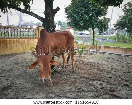 A cow tied during muslim Eid Al-Adha Al Mubarak, the Feast of Sacrifice or Qurban   #1161664810