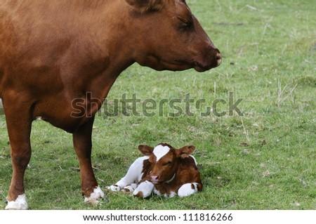 A cow with a calf, closeup - stock photo