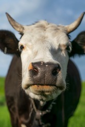 A cow with a white muzzle and black croup grazes on a green meadow.