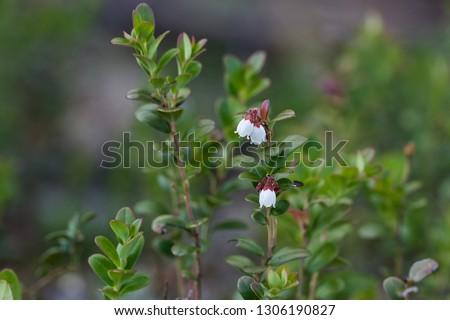 Free Photos Bell Shaped Flowers Avopix