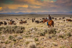 A cowboy riding through a sage brush and  desert grass pasture, moving a herd of cattle from one pasture to another.