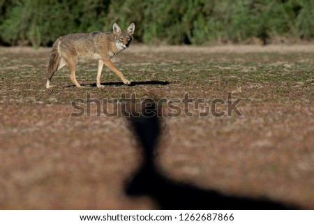 A coyote eyeing the silhouette of a black-tailed jackrabbit at the Veteran's Oasis Park in Chandler, Arizona.