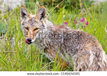 A coyote, photographed in the Yukon Territories, Canada.
