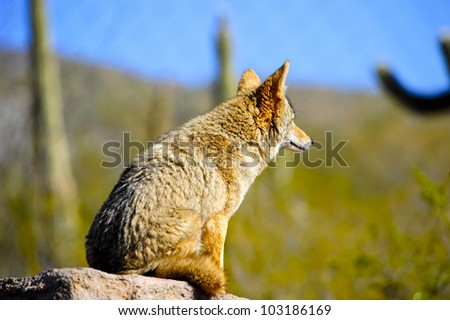 A coyote sitting on a rock staring out over the desert - stock photo
