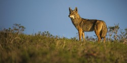 A coyote stands on a ridge in Point Reyes National Seashore, California.
