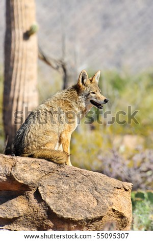 A coyote viewing his territory from a rock