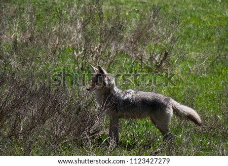 A coyote waiting for its prey to emerge from the ground. Dried bushes and green grass are in the photo.