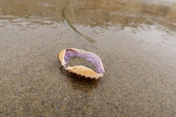 A Crab Carapace Molt Washed On Shore by Wave Action on a Sandy Beach