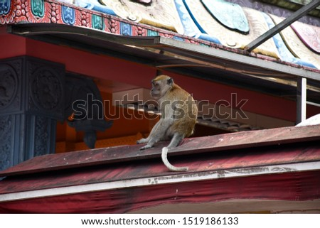 A crab-eating macaques, Macaca fascicularis, also known as the long-tailed macaques is sitting and resting playing on the top of the Caves Villa next to Batu Caves in Malaysia Stok fotoğraf ©