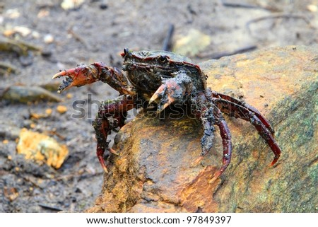 A crab sitting on a rock, pincers up