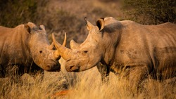 A crash of white rhino