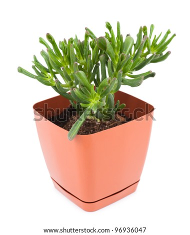 a crassula in a brown pot, isolated
