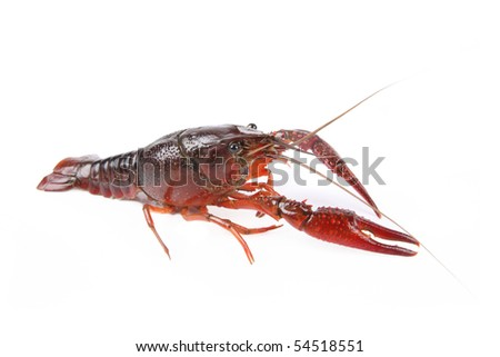 a crayfish or crawfish with white background - stock photo