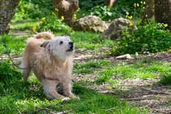 A cream coloured dog, chained to a tree, eagerly waiting for its owner to run freely and play in the countryside. Scruffy fur, friendly playful dog