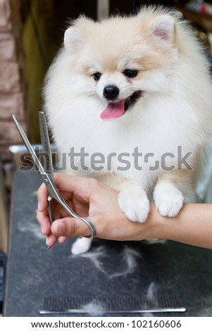 a cream pomeranian smile is cutting