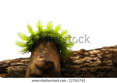 A creepy and spiky green caterpillar (Costa Rican Hairy Caterpillar)