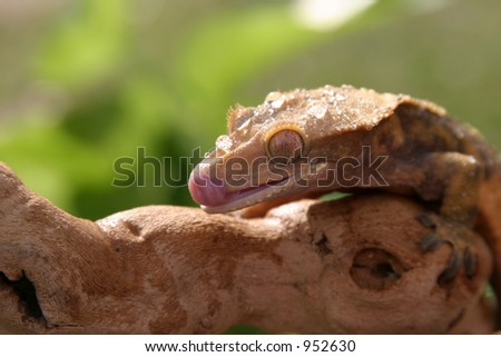 "a ""Crested Gecko"" (Rhacodactylus ciliatus) sits on a tree branch and cleans its self with its tounge while I take its picture"