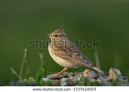 a Crested lark perched on ground looking around