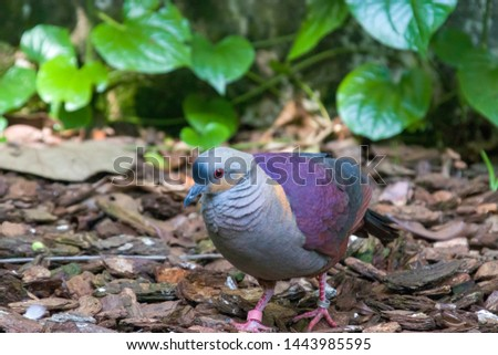 a Crested quail-dove stands on the ground.  It is a species of bird in the family Columbidae. It is endemic to Jamaica. Its natural habitat is subtropical or tropical moist montane forests. #1443985595