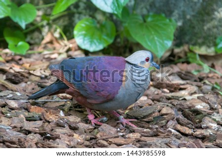 A Crested quail-dove stands on the ground.  It is a species of bird in the family Columbidae. It is endemic to Jamaica. Its natural habitat is subtropical or tropical moist montane forests. #1443985598