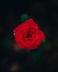 A crimson, red, pretty, rose.